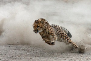 cc leopard